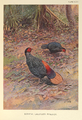 Bornean Crestless Fireback by George Edward Lodge.png