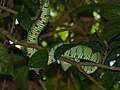 Bornean Keeled Green Pit Viper (Tropidolaemus subannulatus) (8068228412).jpg