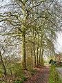 Bornem Boeterbloemenlaan Opgaande bomenrij van platanen (2) - 193399 - onroerenderfgoed.jpg