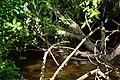 Bothell, WA - muskrat on North Creek 02.jpg