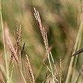Bothriochloa ischaemum-chiendent à balais-Inflorescences 1.jpg