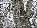 Bracket fungus - Inonotus hispidus - geograph.org.uk - 1609262.jpg