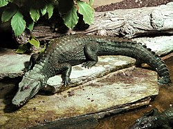 Brauen Glattstirnkaiman Paleosuchus palpebrosus.jpg
