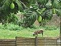 Breadfruit and Pig - panoramio.jpg