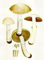 Bresadola - Pholiota caperata.png