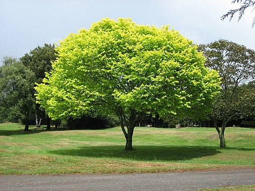 Bright green tree - Waikato