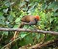 Brown Sicklebill female. Epimachus meyeri (48807897927).jpg