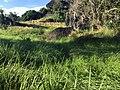 Bukit Tengkorak cogongrass field 03.jpg