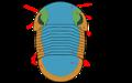 Bumastus morphology.png