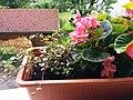 Bumblebee on Begonia x semperflorens-cultorum publicdomain tbf - 39.jpg