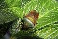 Bunte Blattwanze Elasmostethus interstinctus P6272058.jpg