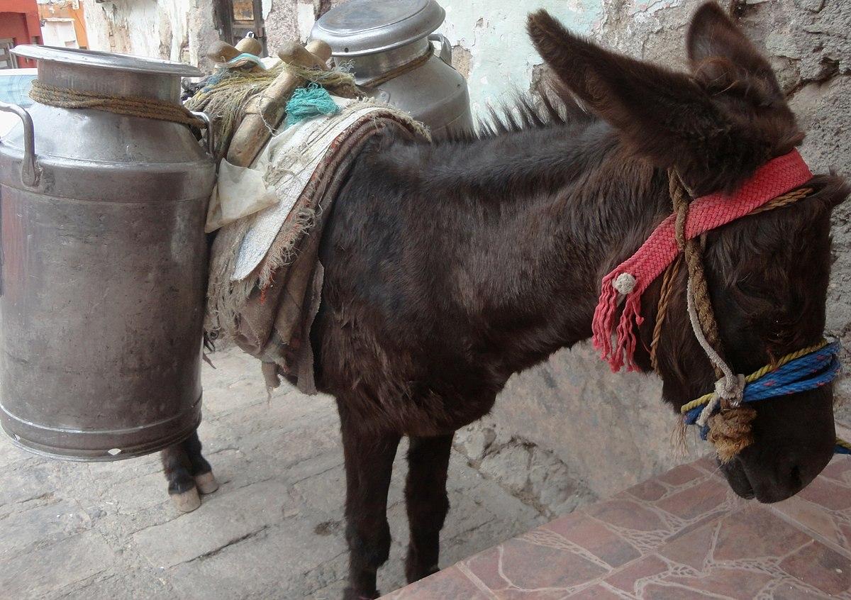 Burro lechero en México.jpg