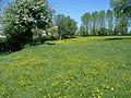 Buttercups - geograph.org.uk - 419605.jpg