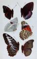 Butterfliesplate5.png