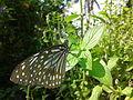 Butterfly irv5.jpg