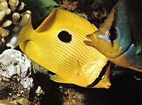 Butterflyfishes Seychelles