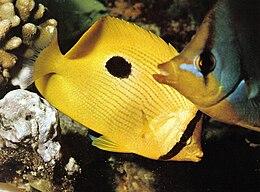 Butterflyfishes Seychelles.jpg