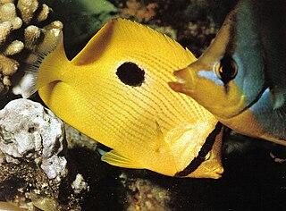 <i>Chaetodon zanzibarensis</i> species of fish