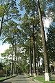 Cây xanh - đường Ngô Gia Tự q5 HCMVN - panoramio.jpg