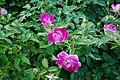 CBG pink roses 0061.jpg