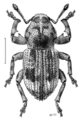 COLE Curculionidae Maleuterpes spinipes.png