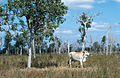 CSIRO ScienceImage 4407 Cattle on improved pasture stylo at Woodhouse property near Clare QLD.jpg