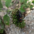 Cactophagus spinolae (Curculionidae) I.jpg