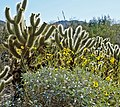 Cactus Garden, Living Desert 3-15h (16137041433).jpg