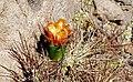 Cactus en flor 3.jpg