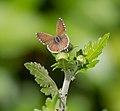 Cacyreus marshalli - 03.jpg