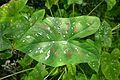 Caladium bicolor-Jardin des plantes de Nantes (2).jpg