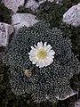 Callianthemoides semiverticillatus.jpg