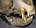 Callorhinus ursinus (northern fur seal) skull 8 (32712130327).jpg
