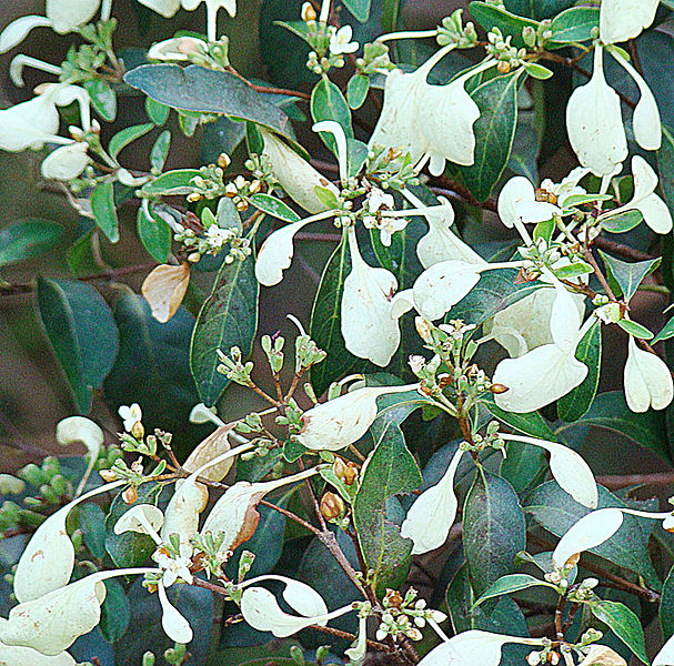 File:Calycophyllum candidissimum, known as Degame. (9406928384).jpg
