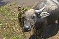 Cambodia. Water buffaloes. img 04.jpg