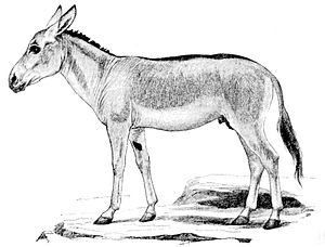 Persian onager - A drawing of a Persian onager.
