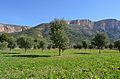 Camp d'oliveres joves al costat de l'alqueria de Colomer.JPG