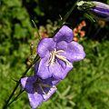 Campanula persicifolia20090702 098.jpg