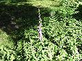 Campanula rapunculoides atr.jpg