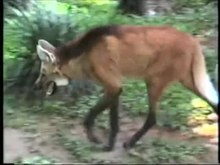 Video of captive maned wolf at Singapore Zoo