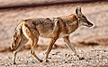 Canis latrans Mar 24 2021A61I7580 (51069048397).jpg