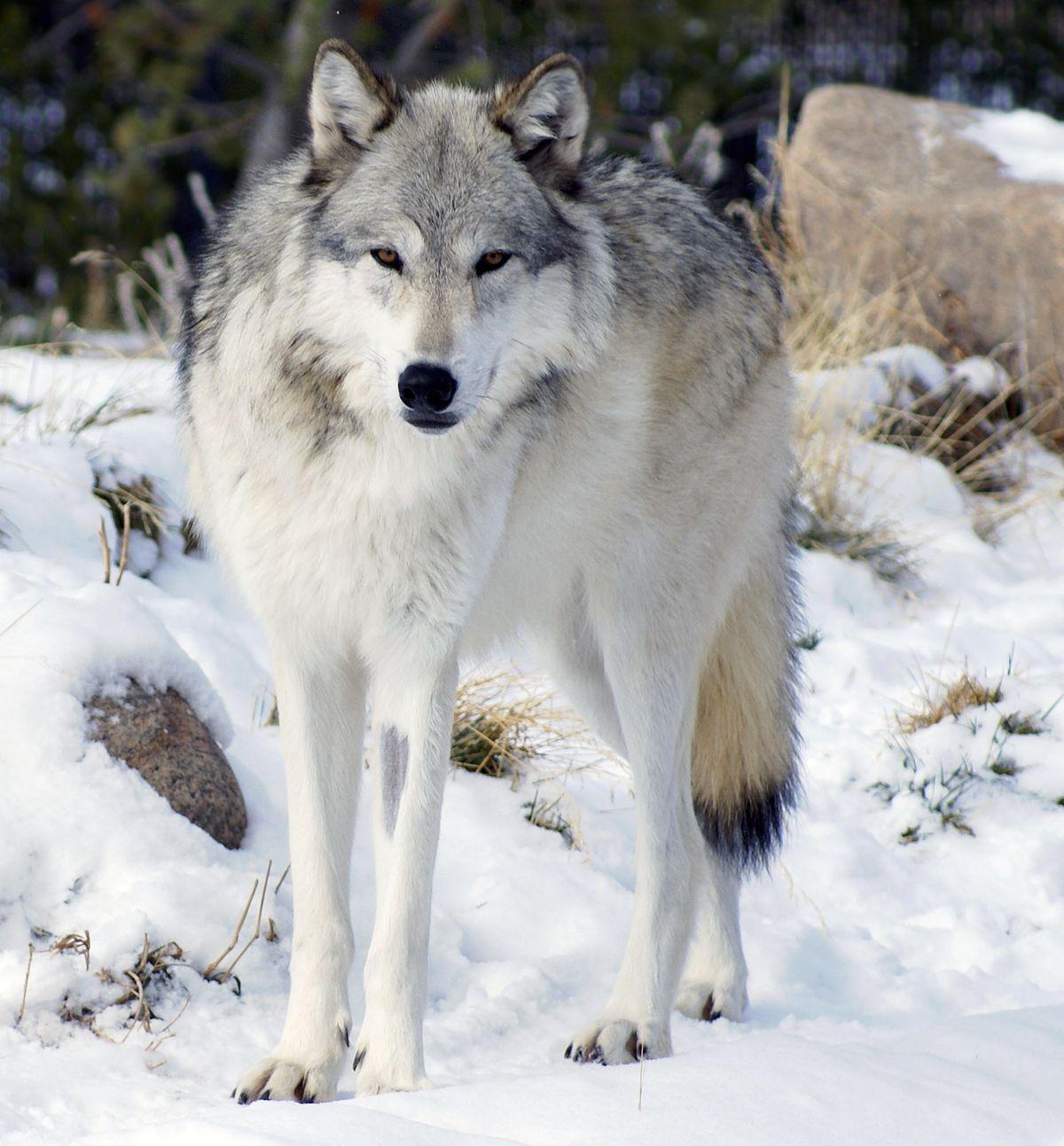 Northwestern wolf - Wikipedia