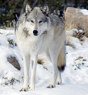 Northwestern wolf Subspecies of mammal