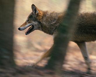Alligator River National Wildlife Refuge - Red wolf