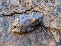 Canyon Treefrog.jpg
