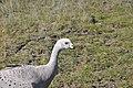 Cape Barren goose 3.jpg