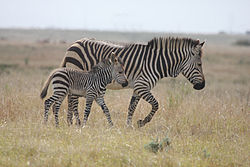 Cape Mountain Zebra and Young.jpg