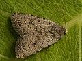 Caradrina petraea - Наземная совка каменная (27245772718).jpg