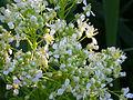 Cardaria draba EnfoqueInflores 2011-4-01 CampodeCalatrava.jpg