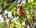 Cardinal with Camo Paint (4155024726).jpg